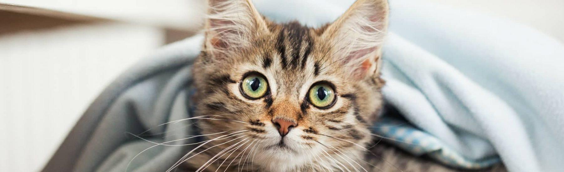 Kitten Vaccinations Fairview Animal Hospital